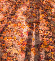 Vertical autumn background with fallen maple leaves of different colors, on the ground in the park. The shadow of the silhouette of a person