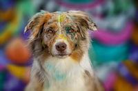 Australian shepherd dog on colorful background