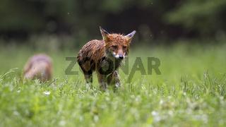 Wet red fox walking on grassland in rainy summer nature