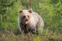 Young brown bear standing on meadow in summer nature