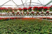 Poinsettia Cristmas flower. Greenhouse filled with Red holiday flowers plant in pots standing in rows and hanging.