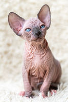 Portrait of Canadian Sphynx Cat kitten with big blue eyes sitting on white carpet background