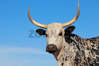 Portrait of a Nguni  cow - indigenous cattle breed of South Africa