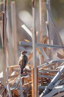 small song bird Sedge warbler, Europe wildlife