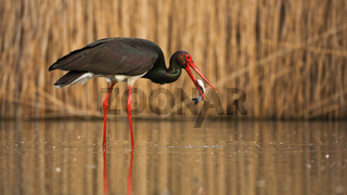 Black stork fishing in wetland with reeds behind in spring
