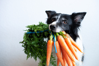 Dog with bunch of carrots in mouth. Cute black and white border collie.
