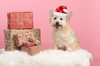 One small dog with christmas gifts