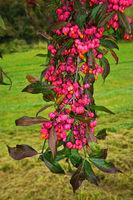 Gewöhnliche Spindelstrauch, Pfaffenhütchen, Euonymus europaeus, spindle tree