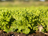 salat - lettuce