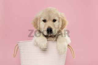 Cute golden retriever puppy hanging in a pink basket with its paws over the edge  looking at the camera on a pink background