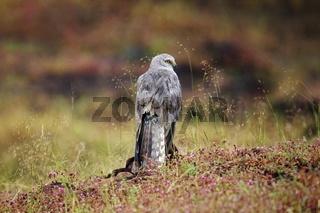 Pallid Harrier, Circus macrourus, male, Bhigwan, Maharashtra, India
