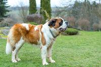 Portrait working breed of of St. Bernard dog