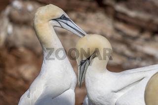 Basstölpelpaar (Morus bassanus)