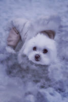 little white maltese dog outdoors in the snow