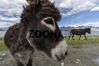 Esel am Pangong See in Ladakh, Indien