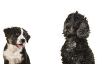 Portrait of an elderly senior cocker spaniel dog and a australian shepherd puppy isolated on a white background with space for copy
