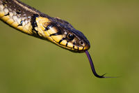 Dangerous looking grass snake flicking tongue on green blurred background
