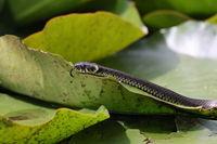 Grass snake, grass snake (Natrix natrix), on lily pad, Germany