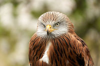 Red kite, bird of prey portrait,. In front view, yellow eye and beak. White blossom in the background
