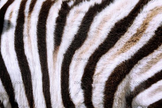Zebrafell, Steppenzebra, Etosha, Namibia | Fur of a Plains Zebra. Etosha NP, Namibia