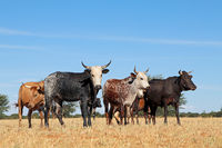 Free-range nguni cattle in grassland on a rural farm - South Africa
