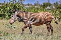 Das seltene Hartmans Bergzebra im Etosha NP, Namibia | the rare Hartman's Mountain Zebra in the western part of Etosha NP, Namibia, Equus Zebra Hartmannae