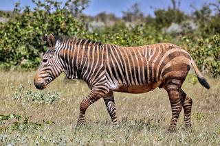 Das seltene Hartmans Bergzebra im Etosha NP, Namibia   the rare Hartman's Mountain Zebra in the western part of Etosha NP, Namibia, Equus Zebra Hartmannae