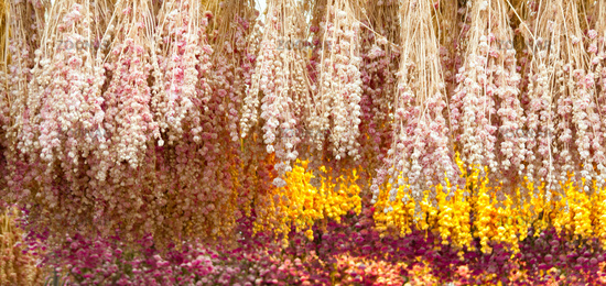 Many dried dutch flowers hanging on a ceiling. Iconic travel souvenir background.