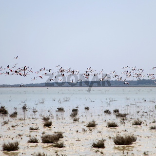 Greater Flamingos in flight over Salt Lake in the Cyprus