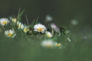 Springtime grass meadow with selective focus on blooming daisy