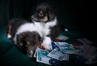 Puppies with cards and casino counters