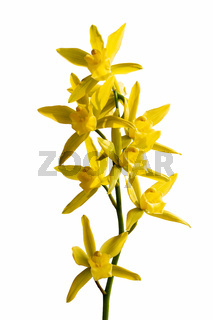 orchid bloom isolated
