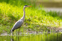 Grey heron standing on riverbank in summer sunlight