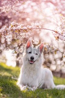 Weisser Schäferhund unter Kirschlüten im Frühling