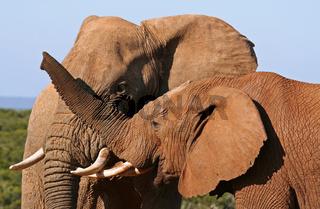 Elefanten in Südafrika, Elephants in South Africa