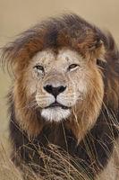 Dominanter Masai Mara Loewe, Kenia