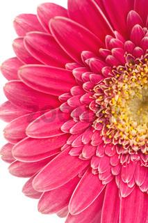 Nahaufnahme einer wunderschönen pinkfarbenen Gerbera Blüte