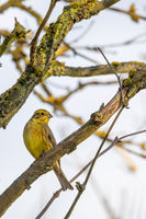 bird yellowhammer, Europe wildlife