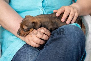 One month old brown Jack Russell puppy lies on a woman's arm. She strokes the dog's. The dog is sleeping. For the first time in the sun. Animal Themes, Selective Focus
