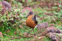 bird Rouget's Rail, Bale Mountain Ethiopia