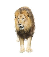 Digital Painting of Lion  on white background