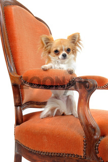 chihuahua on an antique armchair