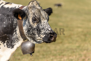 Portrait of a Vosges cow in the Vosges mountains.