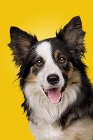 portrait of a border collie sheepdog