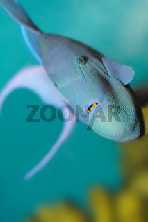 Predatory tropical fish