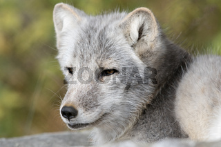 The Arctic Fox - Vulpes lagopus - adult animal portrait with soft natural background