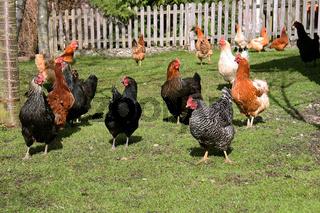 Glückliche Hühner auf einem Bauernhof