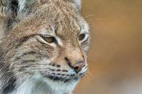 The Eurasian lynx - Lynx lynx - close up portrait of adult animal in autum colored vegetation