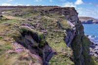 Sea Pinks flowering on the cliffs at Hells Mouth near Hayle in Cornwall