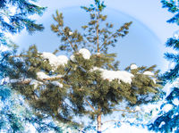 The concept of a Christmas card, Pine branches covered with snowdrifts in a winter forest. A real winter and Christmas background